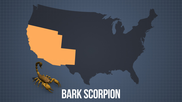The highly venomous bark scorpion can seriously harm or even kill a health adult; they are commonly found in the Southwest.