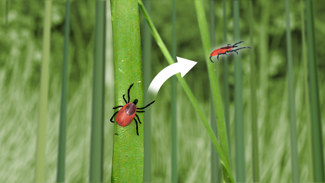 Ticks live in grassy areas and can jump onto people who are walking by.