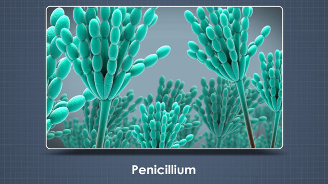 Penicillium, blue-green and fuzzy, is found in spoiled food and on any surface where there's moisture or humidity