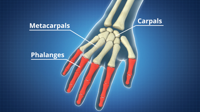 There are 27 bones in the human hand, including the carpals, metacarpals, and phalanges