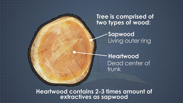 Trees have two types of wood. The sapwood is the living outer ring, and the heartwood is the dead, darker center of the tree.